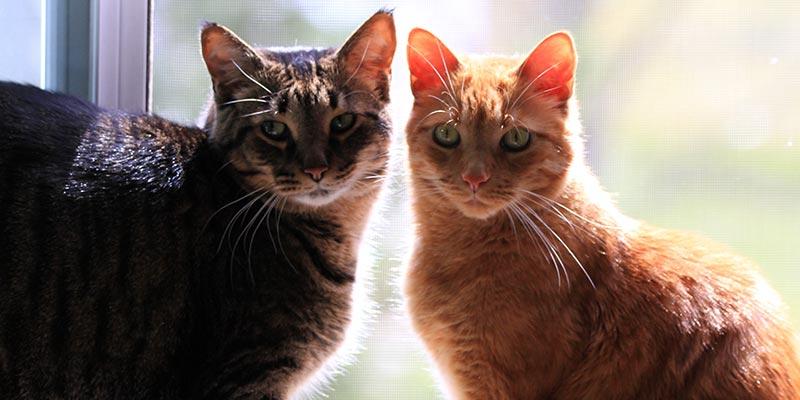 Como solucionar brigas entre gatos? - C
